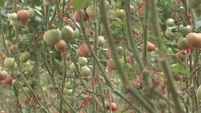 西红柿提前成熟有诀窍 科学选粮储粮卖好粮