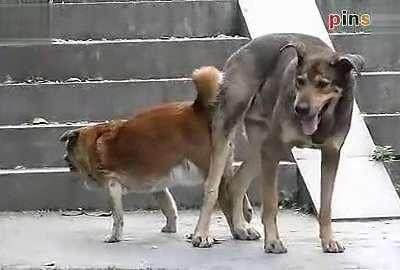 动物性行为 中华田园犬