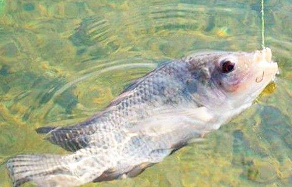 二、选择装备 钓罗非鱼对装备的要求并不高,普通的M调性的路亚竿就足以应付一般的情况了,竿子的重量需控制在2-3斤之内,一般会选择枪柄竿。另外,罗非鱼虽然生性凶猛,但钓罗非鱼的线组搭配不宜过大,碳线最大用到8磅左右,PE线用四股的为极限。鱼钩同样按罗非鱼的个体来定,最大不要超过2号。在拟饵的选择方面,可以选用2-4公分的面包虫,虾类软饵、小重量的金色勺型亮片等也是不错的选择。切记钓罗非鱼时巡游的水层尽量不超过两米。另外需要格外注意的是,罗非胆子小,再小的动静都能引起它的警觉。