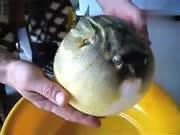生气!小哥筏钓一提竿 钓上圆鼓鼓超萌海鱼贼喜感