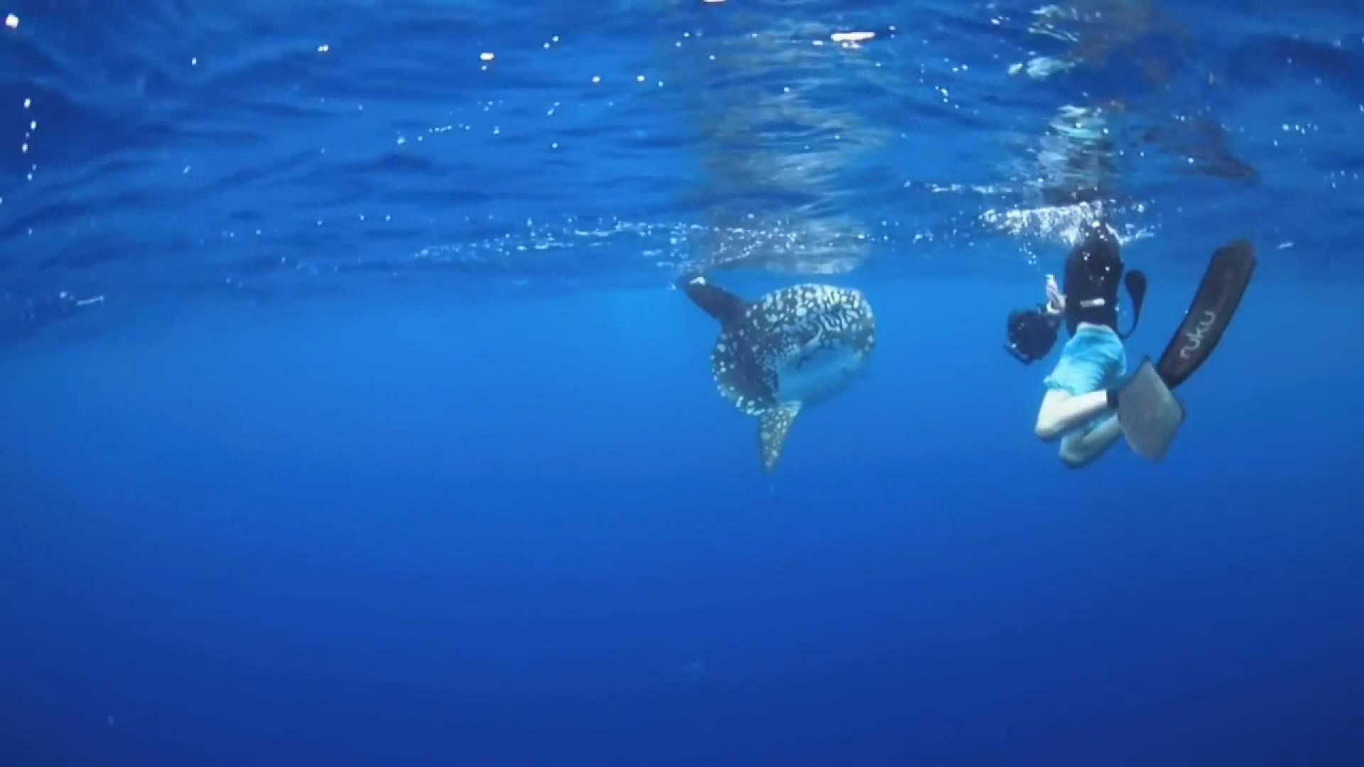 发现只美丽大海鱼共游 竟然被远处逆戟鲸吃掉