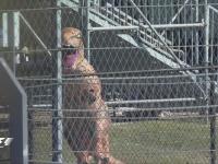 嗷呜~F1美国站FP1:看台上出现了一只恐龙
