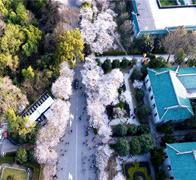 航拍武汉大学樱花初绽