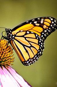 帝王蝶的迁徙之谜新探