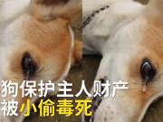 泪目!狗狗吓走小偷被其毒杀,次日口吐白沫含泪而死