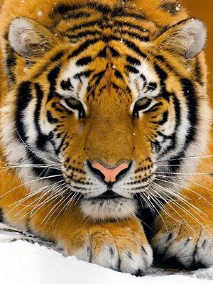 印度—追踪的老虎
