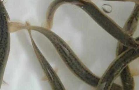 我们经常吃的泥鳅,它是吃什么,就让我们来看