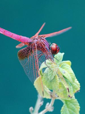 Sky Hunter-Another World of Dragonflies