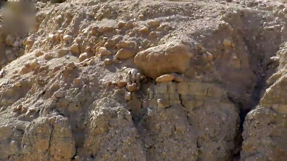 实拍狼在沙漠中追捕飞檐走壁的小羊羔