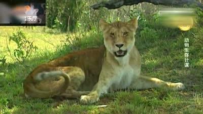 母狮子病了不能捕猎,估计一只鬣狗就可以搞定母狮子!