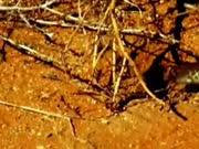 实拍老鼠被眼镜蛇生吞后遇到克星