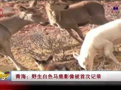 [视频]青海:野生白色马鹿影像被首次记录