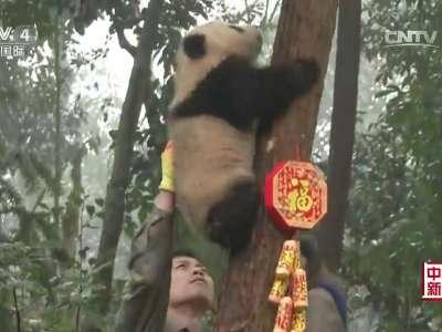 [视频]全球大熊猫迎新年活动