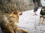逗比狗狗跟主人出工, 路上忍不住挠痒, 主人的耐心无与伦比