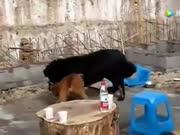 比特犬打斗藏獒,藏獒体形大,可比特犬也不是吃素的