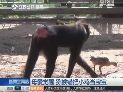 [视频]母爱觉醒 猕猴错把小鸡当宝宝