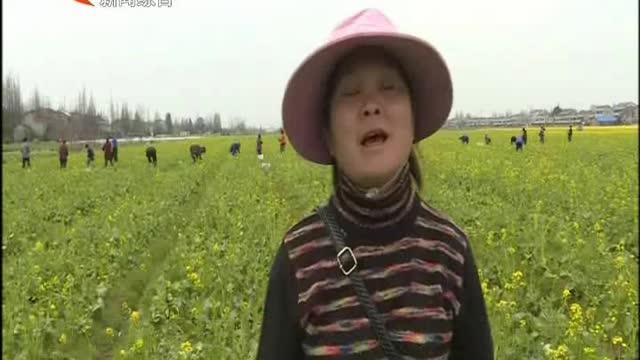沅江草尾镇:合作社里收菜忙 稻蔬轮作促进土地增效