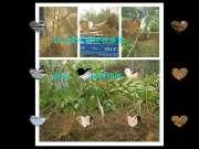 麻核桃树嫁接核桃树品种改良方法