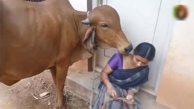 五年前妇女救了一头小牛,如今小牛长大前来报恩,感动了这个小村子