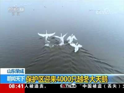 [视频]山东荣成: 保护区迎来4000只越冬大天鹅