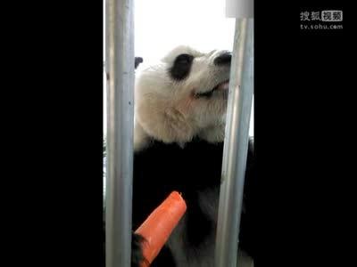 [视频]熊猫吃胡萝卜啃得嘎嘣脆