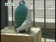 信鸽子养殖技术视频教材-上集
