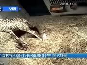 看小长颈鹿从妈妈肚子里落地过程 为母爱点赞