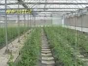 露天西瓜稀植种植技术视频-在线收看