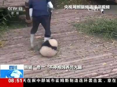 """[视频]四川成都:""""抱大腿""""熊猫宝宝 萌翻全球"""