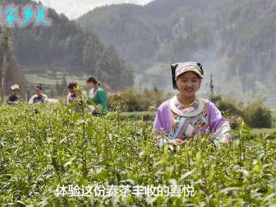回望家乡美-保靖黄金古茶园(预告片)