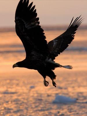 White tailed eagle legend