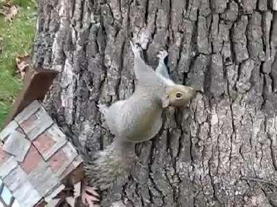 实拍醉酒松鼠搞笑爬树