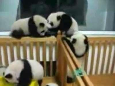 超可爱——打架的熊猫宝宝
